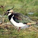 Lapwing by Michael Oubridge