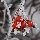 Rose Hips with frosting by Janet Houlihan
