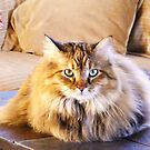 Maine Coon sitting pretty by Thomas Stevens