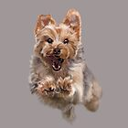 Cairn Terrier Coming At You by Vcnewton