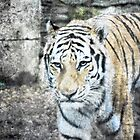 Amur Tiger by DonnaM