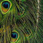 Peacock Close up by arc1
