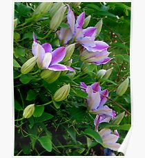Clematis Blooms Poster