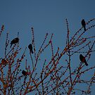 Red Winged Black Birds by Blackrock
