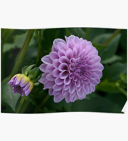 Purple Dahlia Poster