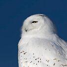 Male Snowy owl by Jim Cumming