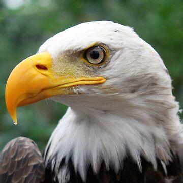 Portrait of A Bald Eagle by Jokus