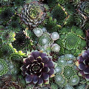 Sempervivum Abstract by artsandherbs