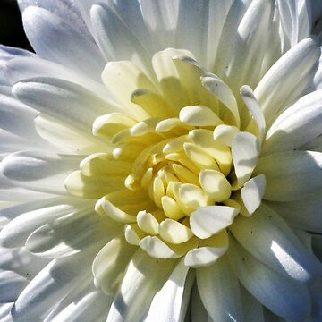 Chrysanthemum In Sunlight by wselander