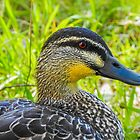 Pacific Black Duck by indiafrank