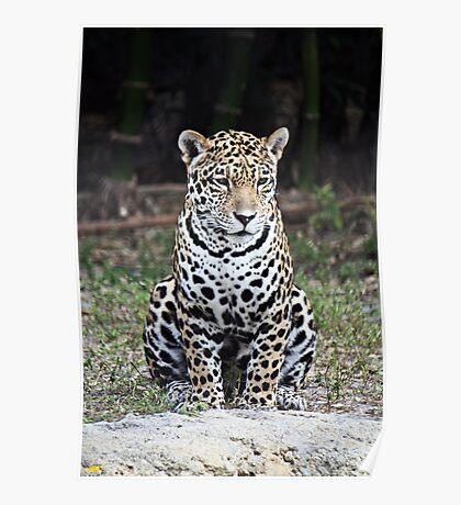 Jaguar (Panthera onca) Poster
