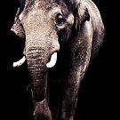 Asian Elephant by Kristen Coleman