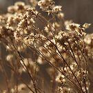 Wild Cotton by Kelly Chiara