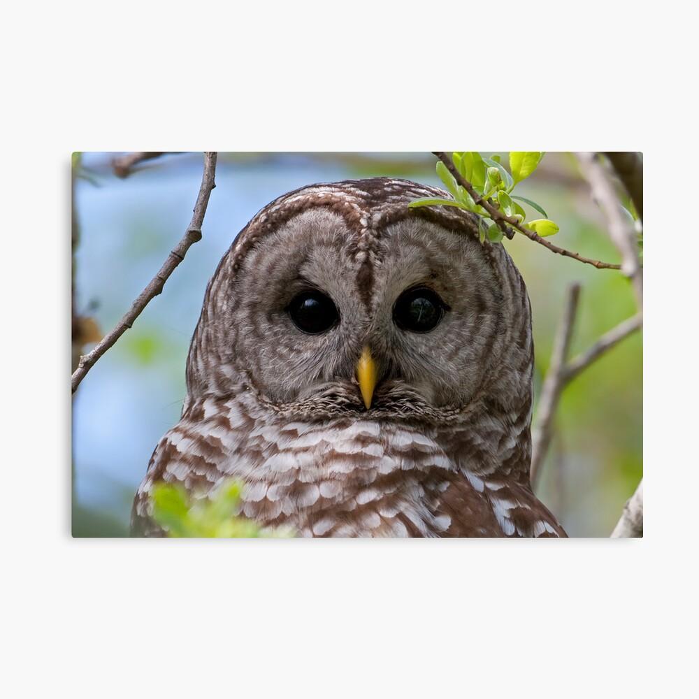 Barred Owl at McGregor Marsh Canvas Print