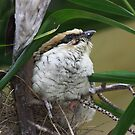 Juvenile Koel Fostered by Little Wattlebirds by byronbackyard