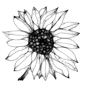 Sunflower Drawing by BettyMackey