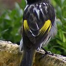 New Holland Honeyeater after a bath by BronReid