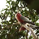 Galahs, adult and juvenile by BronReid