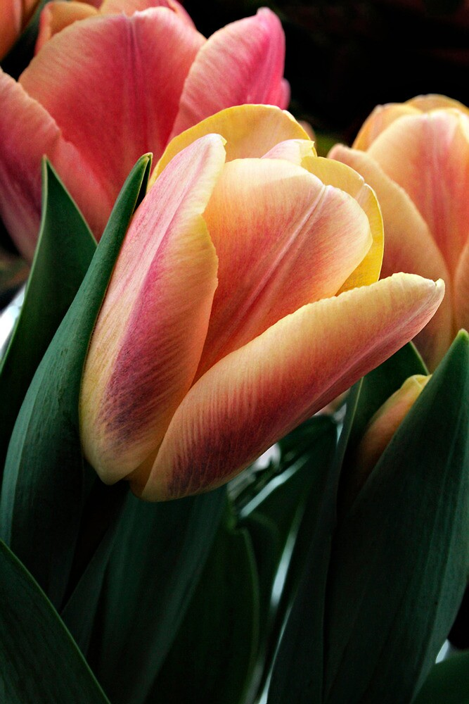 Tulips by TeresaB