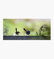 The hen-pecked husband (Superb Blue Fairy Wren) Photographic Print