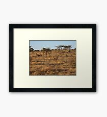 Lion kill - Masai Mara, Kenya Framed Print
