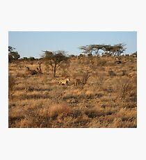 Lion kill - Masai Mara, Kenya Photographic Print