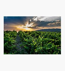 Vines in spring France Photographic Print