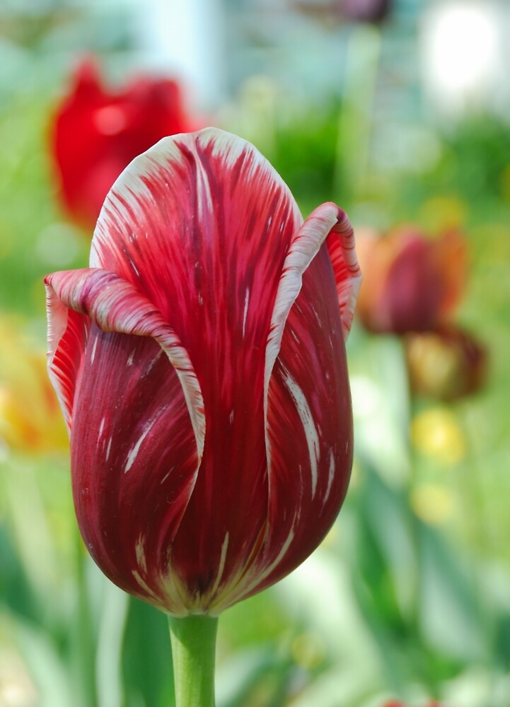 Red tulip by igorsin