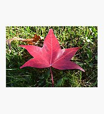 Red Fallen Leaf Photographic Print