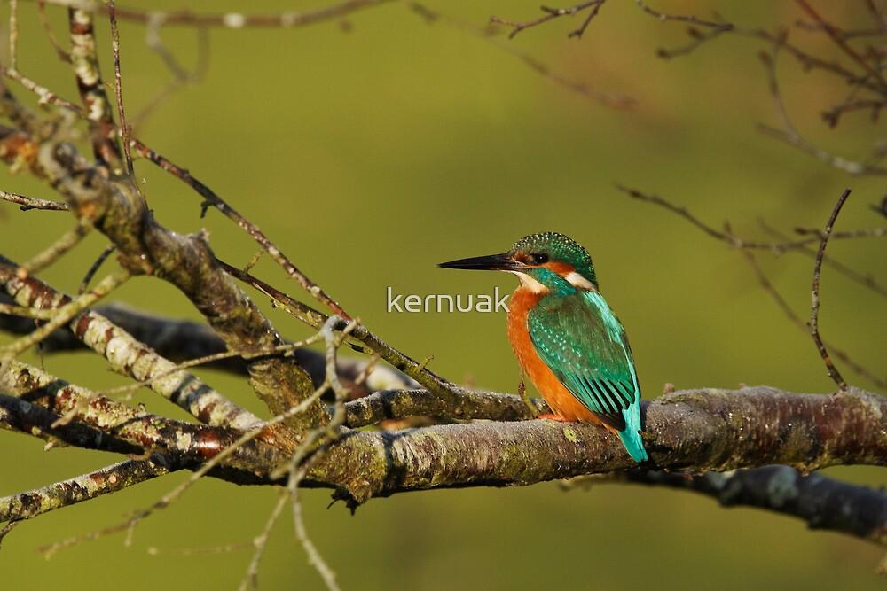 Kingfisher on a Tree by kernuak