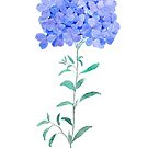 blue purple Plumbago auriculata flower water color by ColorandColor