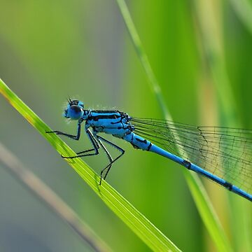 Blue dragonfly on green grass by franceslewis