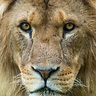 Male African Lion up close. by andremichel