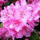 Pink Flowers by 319media