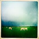 Dutch cows  by Peter Voerman