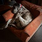Can a Great Dane fit in an Arm Chair?....Yes, yes she can by Ben Breen