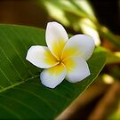 Frangipani Flower by edesigned