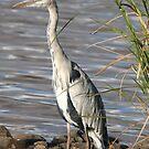 Grey Heron (Ardea cinerea) by Jo McGowan