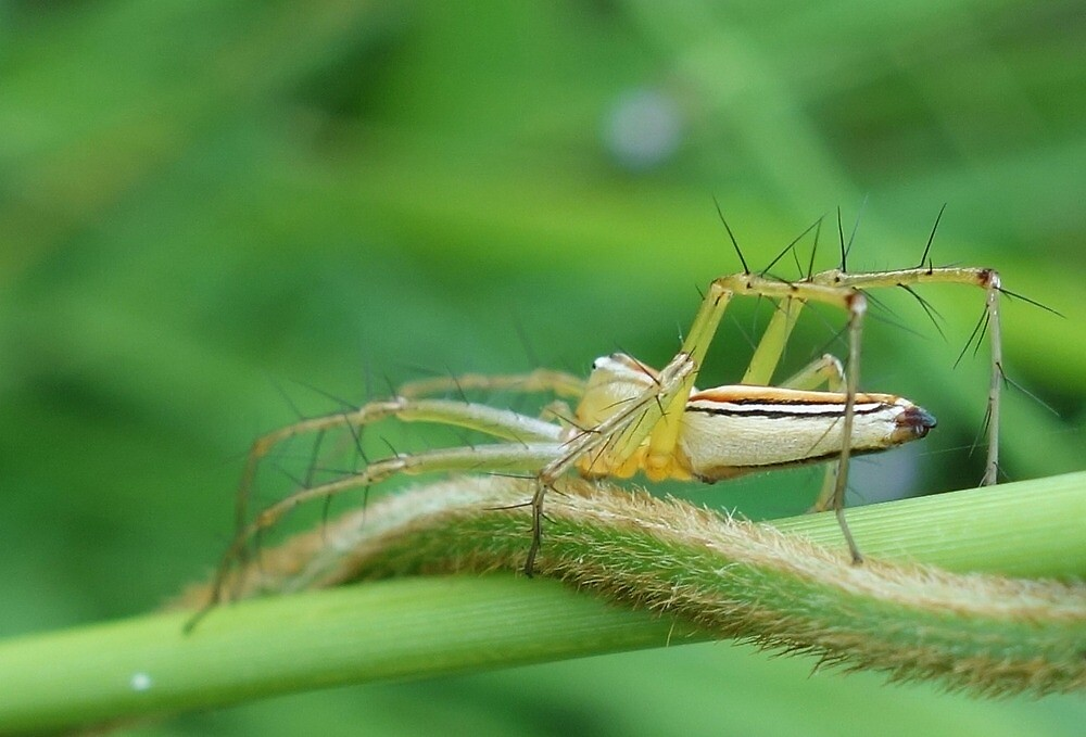 Lynx Spider by mindy23