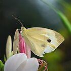 Blasser Flügel: Kohlweißer Schmetterling auf Blume von David Lamb