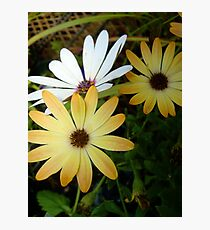 The Odd One Out - Triplet Daisies Photographic Print
