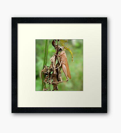 Carolina Locust on Dry Spanish Needles Framed Print