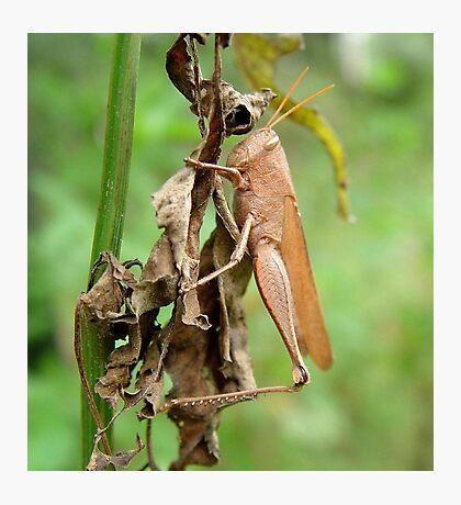 Carolina Locust on Dry Spanish Needles Photographic Print