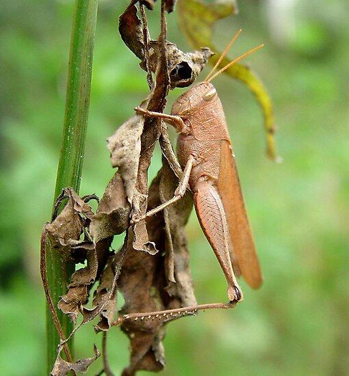 Carolina Locust on Dry Spanish Needles by May Lattanzio