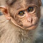 Bonnet Macaque Baby by Nickolay Stanev