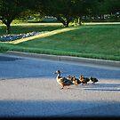 Why did the Ducks Cross the Street by BernieG
