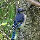 The bluejay by marchello