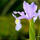 The Iris by Kym Howard