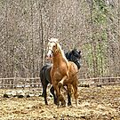 The two stallions by marchello