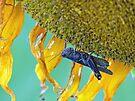 Grasshopper on Sunflower by FrankieCat